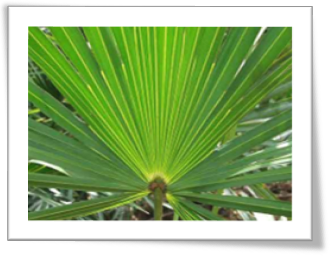 Prostate Saw Palmetto